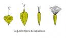 aquenio