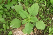 <strong>Amaranthaceae - Amaranthus viridis L.</strong><br />© Pascal MARNOTTE / CIRAD