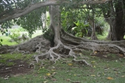 <strong>Moraceae - Ficus - Ficus religiosa L.</strong><br />© 2015-2016 - 2nde5_LLB - Elsa Donnat