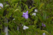 <strong>Solanaceae - Brunfelsia - Brunfelsia pauciflora (Cham. & Schltdl.) Benth.</strong><br />© 2015-2016 - 2nde5_LLB - Elsa Donnat
