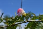 <strong>Fabaceae - Calliandra - Calliandra surinamensis Benth.</strong><br />© 2015-2016 - 2nde5_LLB - Elsa Donnat