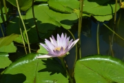 <strong>Nymphaeaceae - Nymphaea - Nymphaea nouchali Burm.f.</strong><br />© 2015-2016 - 2nde5_LLB - Elsa Donnat