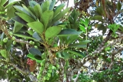 <strong>Monimiaceae - Tambourissa - Tambourissa quadrifida Sonn.</strong><br />© Enseignants - LLB - Meeajane Bilkiss