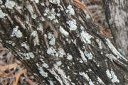 <strong>Sapindaceae - Dodonaea - Dodonaea viscosa (L.) Jacq.</strong><br />© 2014-2015 - 2nde6_LLB - Elisa Hein