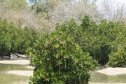 <strong>Rhizophoraceae - Rhizophora - Rhizophora mucronata Lam.</strong><br />© 2014-2015 - 2nde6_LLB - Elisa Hein