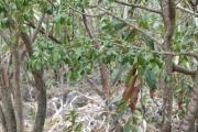 <strong>Meliaceae - Turraea - Turraea thouarsiana Cavaco & Keraudren</strong><br />© 2014-2015 - 2nde6_LLB - Elisa Hein