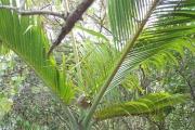 <strong>Arecaceae - Hyophorbe - Hyophorbe lagenicaulis (L.H.Bailey) H.E.Moore</strong><br />© Enseignants - LLB - ADAKEN GeneviŠve