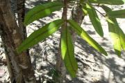 <strong>Araliaceae - Polyscias - Polyscias maraisiana Lowry & G.M.Plunkett</strong><br />© Enseignants - LLB - ADAKEN GeneviŠve