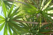 <strong>Asparagaceae - Dracaena - Dracaena concinna Kunth</strong><br />© 2015-2016 - 2nde5_LLB - Guillaume Maugueret