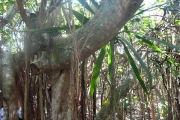 <strong>Moraceae - Ficus - Ficus rubra Vahl</strong><br />© 2015-2016 - 2nde5_LLB - Guillaume Maugueret