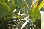 <strong>Arecaceae - Latania - Latania loddigesii Mart.</strong><br />© 2015-2016 - 2nde5_LLB - Guillaume Maugueret