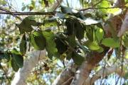 <strong>Ebenaceae - Diospyros - Diospyros egrettarum I.Richardson</strong><br />© 2014-2015 - 2nde6_LLB - InŠs Cervello