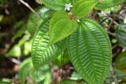 <strong>Melastomataceae - Clidemia - Clidemia hirta (L.) D. Don</strong><br />© Enseignants - LLB - COMTE Laurence