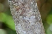 <strong>Hernandiaceae - Hernandia - Hernandia nymphaeifolia (J.Presl) Kubitzki</strong><br />© Enseignants - LLB - COMTE Laurence