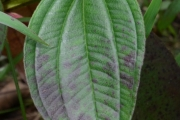 <strong>Melastomataceae - Tristemma - Tristemma mauritianum J.F. Gmel.</strong><br />© Enseignants - LLB - COMTE Laurence