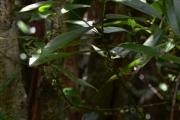 <strong>Melastomataceae - Ossaea - Ossaea marginata (Desr.) Triana</strong><br />© Enseignants - LLB - COMTE Laurence