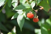 <strong>Rosaceae - Rubus - Rubus rosifolius Sm.</strong><br />© Enseignants - LLB - COMTE Laurence
