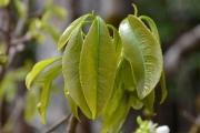 <strong>Ochnaceae - Ochna - Ochna mauritiana Lam.</strong><br />© Enseignants - LLB - COMTE Laurence