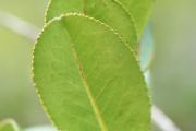 <strong>Aphloiaceae - Aphloia - Aphloia theiformis (Vahl) Benn.</strong><br />© Enseignants - LLB - COMTE Laurence