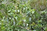 <strong>Euphorbiaceae - Hancea - Hancea integrifolia (Willd.) S.E.C.Sierra</strong><br />© Enseignants - LLB - COMTE Laurence