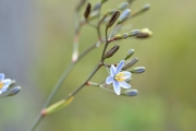 <strong>Xanthorrhoeaceae - Dianella - Dianella ensifolia (L.) DC.</strong><br />© Enseignants - LLB - COMTE Laurence