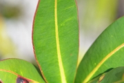 <strong>Euphorbiaceae - Stillingia - Stillingia lineata (Lam.) Müll.Arg.</strong><br />© Enseignants - LLB - COMTE Laurence