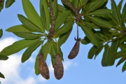 <strong>Sapotaceae - Madhuca - Madhuca longifolia var. latifolia (Roxb.) A.Chev.</strong><br />© Enseignants - LLB - COMTE Laurence