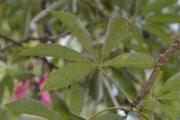 <strong>Malvaceae - Ceiba - Ceiba speciosa (A.St.-Hil.) Ravenna</strong><br />© Enseignants - LLB - COMTE Laurence