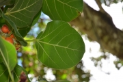 <strong>Moraceae - Ficus - Ficus benghalensis L.</strong><br />© Enseignants - LLB - COMTE Laurence