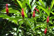 <strong>Zingiberaceae - Alpinia - Alpinia purpurata (Vieill.) K.Schum.</strong><br />© Enseignants - LLB - COMTE Laurence