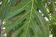 <strong>Moraceae - Artocarpus - Artocarpus altilis (Parkinson ex F.A.Zorn) Fosberg</strong><br />© Enseignants - LLB - COMTE Laurence
