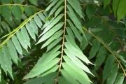 <strong>Oxalidaceae - Averrhoa - Averrhoa bilimbi L.</strong><br />© Enseignants - LLB - COMTE Laurence