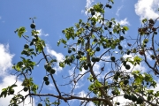 <strong>Lauraceae - Persea - Persea americana Mill.</strong><br />© Enseignants - LLB - COMTE Laurence