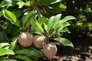 <strong>Sapotaceae - Manilkara - Manilkara zapota (L.) P.Royen</strong><br />© Enseignants - LLB - COMTE Laurence
