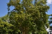 <strong>Myrtaceae - Pimenta - Pimenta dioica (L.) Merr.</strong><br />© Enseignants - LLB - COMTE Laurence