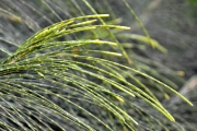 <strong>Casuarinaceae - Casuarina - Casuarina equisetifolia L.</strong><br />© Enseignants - LLB - COMTE Laurence