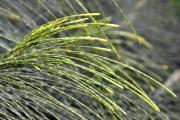 <strong>Casuarinaceae - Casuarina - Casuarina equisetifolia L.</strong><br />© Enseignants - LLB - COMTE Laurence