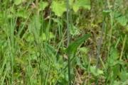<strong>Asteraceae - Emilia - Emilia sonchifolia (L.) DC. ex DC.</strong><br />© Enseignants - LLB - COMTE Laurence