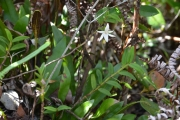 <strong>Orchidaceae - Angraecum - Angraecum mauritianum (Poir.) Frapp.</strong><br />© Enseignants - LLB - COMTE Laurence