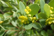 <strong>Thymeleaceae - Wikstroemia - Wikstroemia indica (L.) C.A. Mey.</strong><br />© Enseignants - LLB - COMTE Laurence