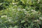 <strong>Solanaceae - Solanum - Solanum torvum Sw.</strong><br />© Enseignants - LLB - COMTE Laurence