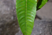 <strong>Hypericaceae - Harungana - Harungana madagascariensis Lam. ex Poir.</strong><br />© Enseignants - LLB - COMTE Laurence