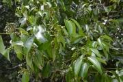 <strong>Lauraceae - Cinnamomum - Cinnamomum verum L.</strong><br />© Enseignants - LLB - COMTE Laurence