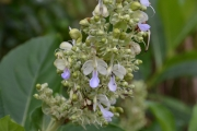 <strong>Lamiaceae - Rotheca - Rotheca serrata (L.) Steane & Mabb.</strong><br />© Enseignants - LLB - COMTE Laurence