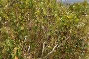 <strong>Myrtaceae - Eugenia - Eugenia kanakana N.Snowglobosum J.Guého & A.J.Scott</strong><br />© Enseignants - LLB - COMTE Laurence