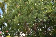 <strong>Oleaceae - Noronhia - Noronhia emarginata (Lam.) Poir.</strong><br />© Enseignants - LLB - COMTE Laurence