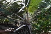 <strong>Arecaceae - Latania - Latania loddigesii Mart.</strong><br />© 2015-2016 - 2nde5_LLB - Laura Merven