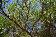 <strong>Sapindaceae - Dodonaea - Dodonaea viscosa (L.) Jacq.</strong><br />© 2015-2016 - 2nde5_LLB - Laura Merven