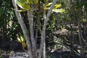 <strong>Araliaceae - Polyscias - Polyscias maraisiana Lowry & G.M.Plunkett</strong><br />© 2015-2016 - 2nde5_LLB - Laura Merven