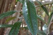 <strong>Rubiaceae - Coptosperma - Coptosperma borbonicum (Hend. & Andr.Hend.) De Block</strong><br />© 2015-2016 - 2nde5_LLB - Laura Merven